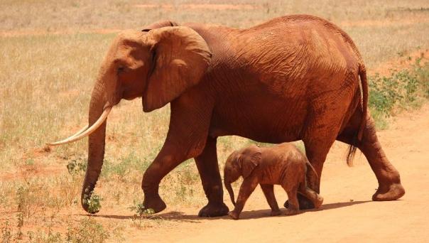 elephant-cub-tsavo-kenya-66898.jpeg